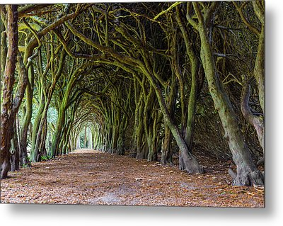 Tunnel Of Intertwined Yew Trees Metal Print by Semmick Photo