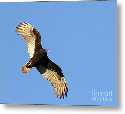 Metal Print featuring the photograph Turkey Vulture by Debbie Stahre
