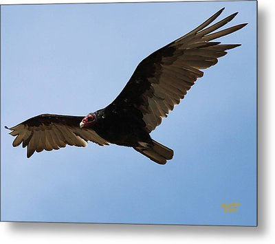 Turkey Vulture Soaring Metal Print