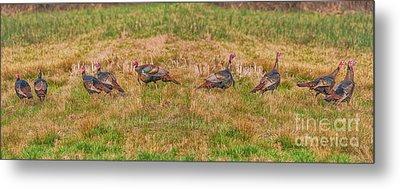 Turkeys In Field Metal Print