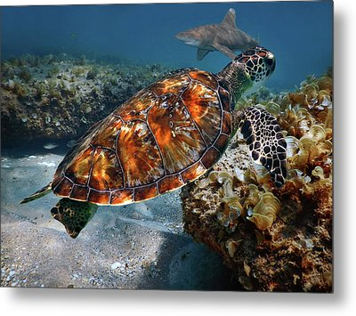 Turtle And Shark Swimming At Ocean Reef Park On Singer Island Florida Metal Print