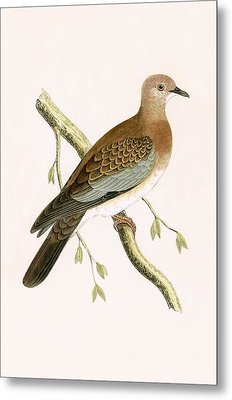 Turtle Dove Metal Print by English School