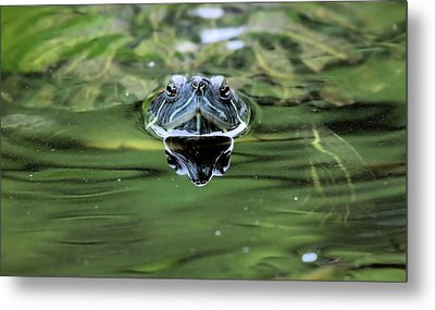 Turtle Head Metal Print by Karol Livote