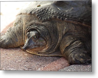 Metal Print featuring the photograph Turtle by Michael Albright