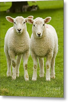 Twin Lambs Metal Print by Meirion Matthias