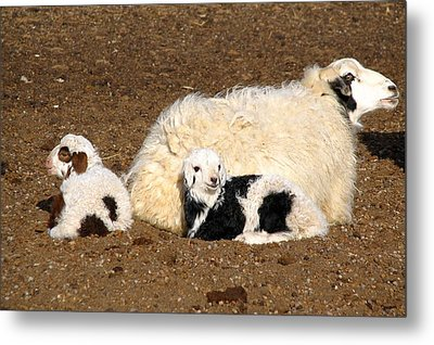 Twin Lambs Of The Gobi Metal Print by Diane Height