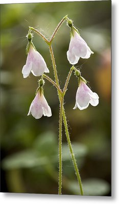 Twinflower (linnaea Borealis) Metal Print by Bob Gibbons