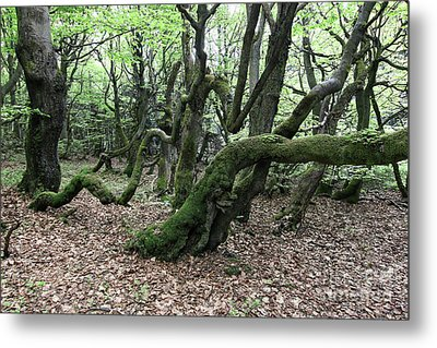 Metal Print featuring the photograph Twisted Trunks Of Beech Trees - Old Beech Forest by Michal Boubin