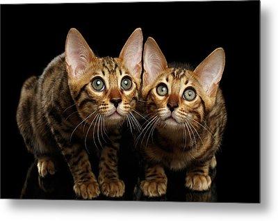 Two Bengal Kitty Looking In Camera On Black Metal Print by Sergey Taran