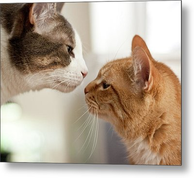 Two Cats Almost Kissing Metal Print by Caro Sheridan / Splityarn