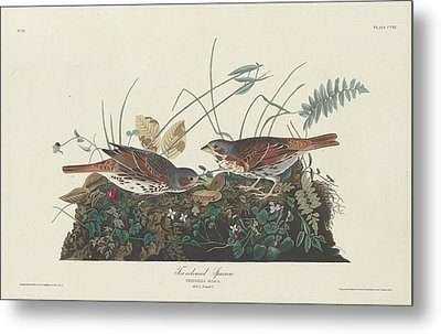 Two-colored Sparrow Metal Print by Rob Dreyer