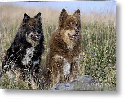 Two Finnish Lapphunds Metal Print by Jean-Louis Klein & Marie-Luce Hubert