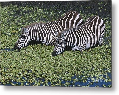 Two For Lunch Metal Print by Sandra Bronstein