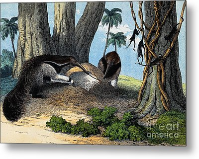 Two Giant Anteaters Feeding On Termites Metal Print by Wellcome Images