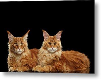 Two Ginger Maine Coon Cat On Black Metal Print by Sergey Taran