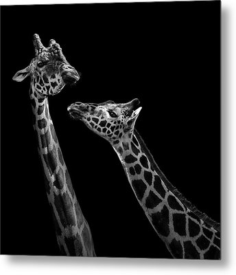 Two Giraffes In Black And White Metal Print