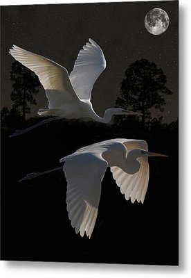Two Great Egrets In Flight Metal Print by Eric Kempson