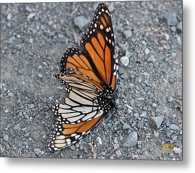 Two Monarchs Aflutter Metal Print