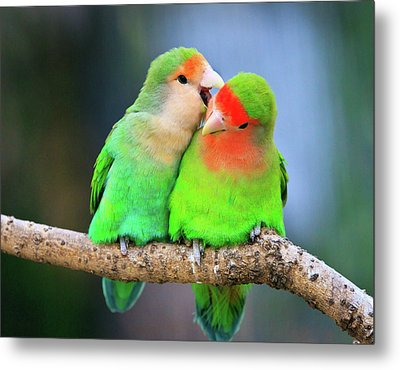 Two Peace-faced Lovebird Metal Print by Feng Wei Photography