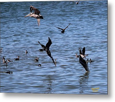 Two Pelicans Diving  Metal Print