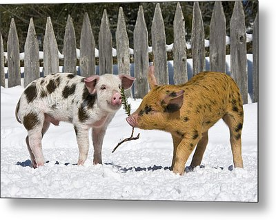 Two Piglets Playing Metal Print by Jean-Louis Klein and Marie-Luce Hubert