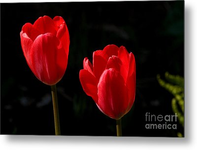 Two Red Tulips Metal Print by Steve Augustin