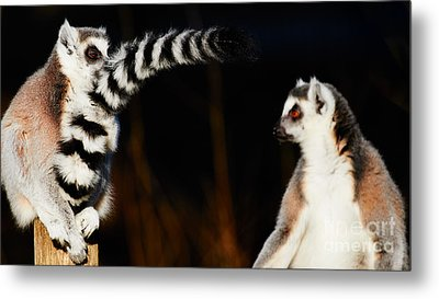 Two Ring-tailed Lemurs Metal Print by Nick Biemans