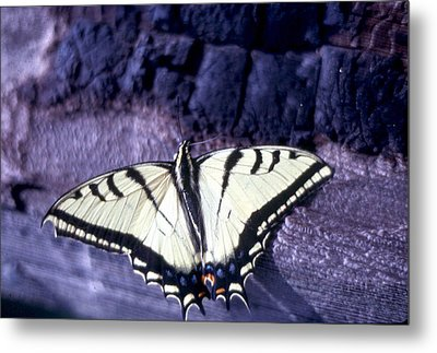 Two Tail Swallowtail Metal Print by Chris Gudger