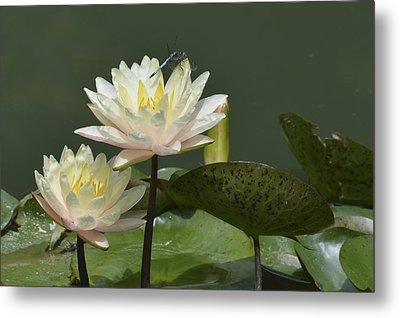 Two Yellow Water Lilies Metal Print by Linda Geiger