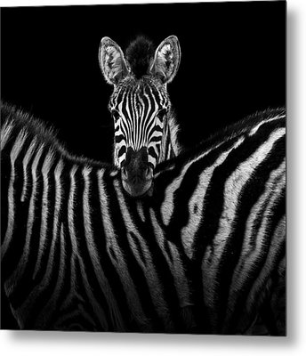 Two Zebras In Black And White Metal Print by Lukas Holas