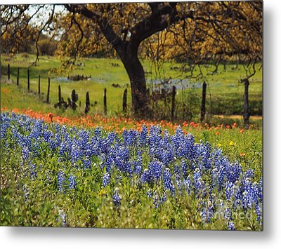 Tx Tradition, Bluebonnets Metal Print by Lisa Spencer