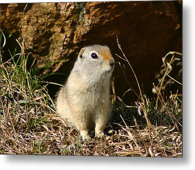 Metal Print featuring the photograph Uinta Ground Squirrel by Perspective Imagery