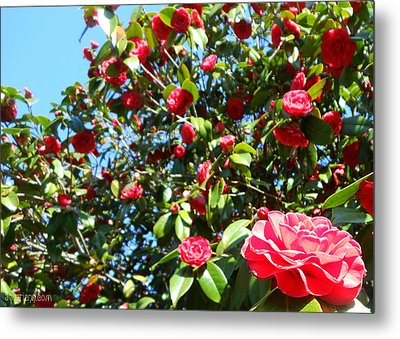 Uncommon Camellias Metal Print