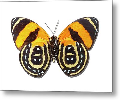 Underside Of Brush-footed Butterfly Of Peru Metal Print by MajchrzakMorel