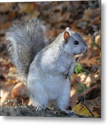 Metal Print featuring the photograph Unusual White And Gray Squirrel by Doris Potter