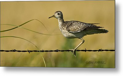 Metal Print featuring the photograph Uplland Sandpiper by Don Durfee