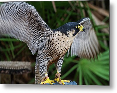 Metal Print featuring the photograph Upset Peregrine by Arthur Dodd