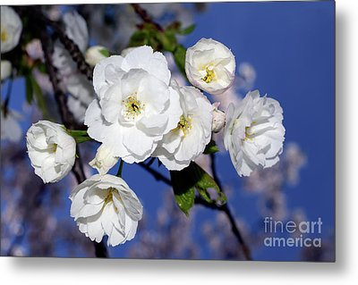Metal Print featuring the photograph Vancouver 2017 Spring Time Cherry Blossoms - 1 by Terry Elniski
