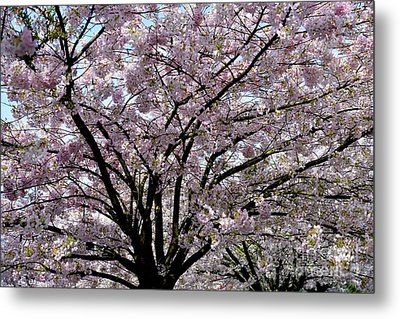 Metal Print featuring the photograph Vancouver 2017 Spring Time Cherry Blossoms - 10 by Terry Elniski