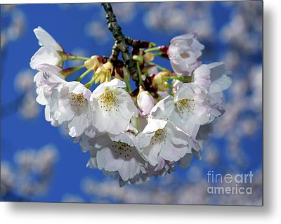 Metal Print featuring the photograph Vancouver 2017 Spring Time Cherry Blossoms - 11 by Terry Elniski