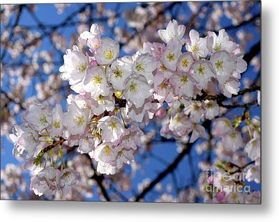 Metal Print featuring the photograph Vancouver 2017 Spring Time Cherry Blossoms - 12 by Terry Elniski