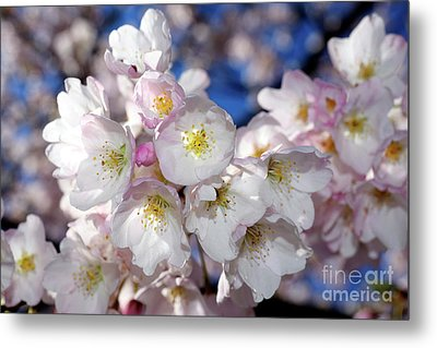 Metal Print featuring the photograph Vancouver 2017 Spring Time Cherry Blossoms - 13 by Terry Elniski