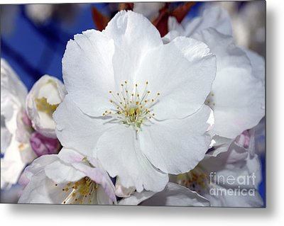 Metal Print featuring the photograph Vancouver 2017 Spring Time Cherry Blossoms - 2 by Terry Elniski