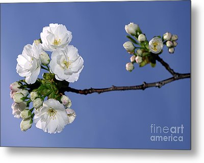 Metal Print featuring the photograph Vancouver 2017 Spring Time Cherry Blossoms - 4 by Terry Elniski
