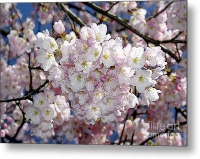 Metal Print featuring the photograph Vancouver 2017 Spring Time Cherry Blossoms - 6 by Terry Elniski