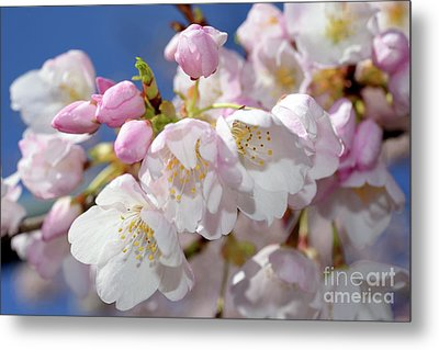 Metal Print featuring the photograph Vancouver 2017 Spring Time Cherry Blossoms - 7 by Terry Elniski