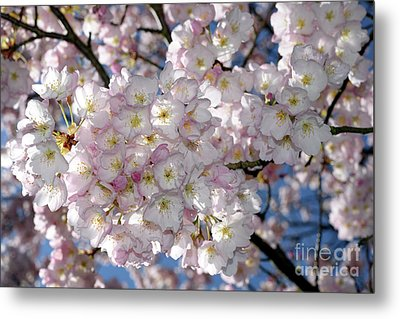 Metal Print featuring the photograph Vancouver 2017 Spring Time Cherry Blossoms - 8 by Terry Elniski