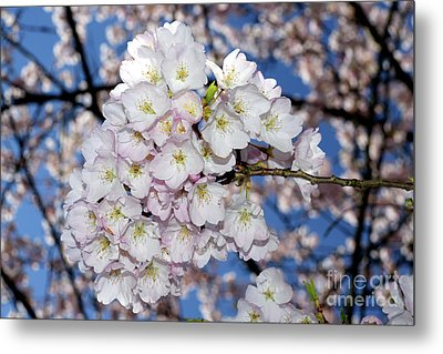 Metal Print featuring the photograph Vancouver 2017 Spring Time Cherry Blossoms - 9 by Terry Elniski