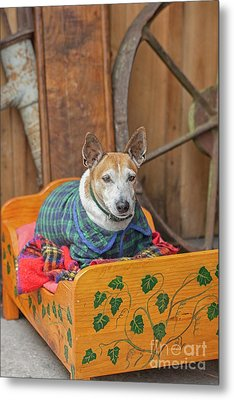Metal Print featuring the photograph Very Old Pet Dog In Clothes On Own Bed by Patricia Hofmeester