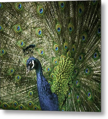 Vibrant Peacock Metal Print by Jason Moynihan
